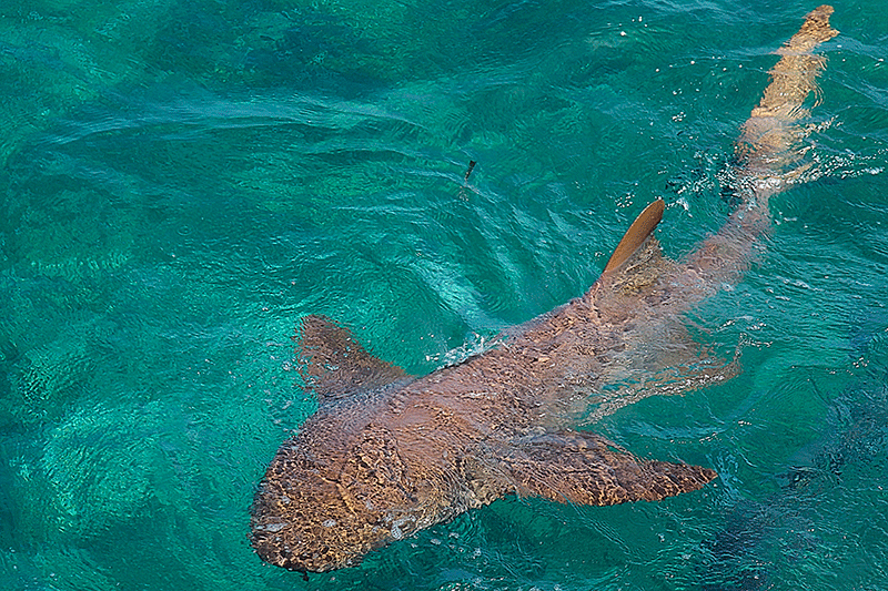 Nurse shark, diving in Belize